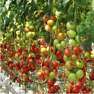 Что говорят овощеводы о томате Калинка-Малинка