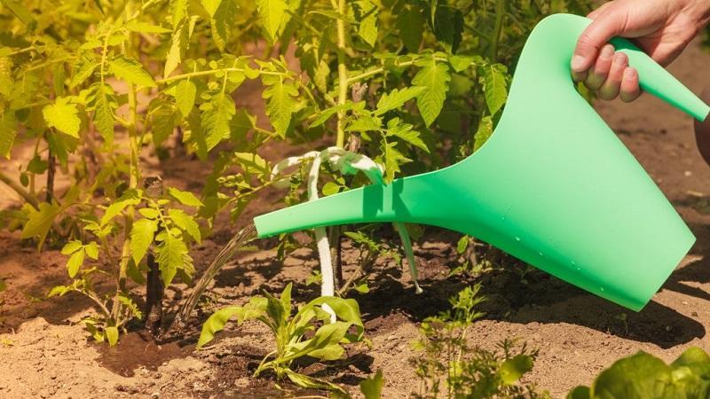 Как часто поливать помидоры в жару, чтобы получить хороший урожай