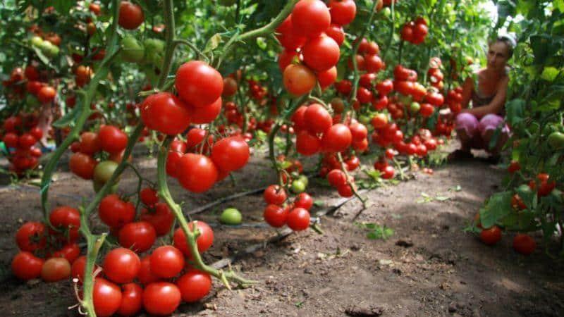 Как правильно посадить томаты под зиму