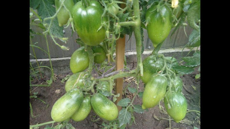 Как ухаживать за томатом {amp}quot;Петруша-огородник{amp}quot;