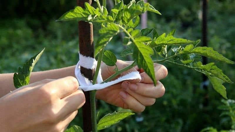 Высокорослые помидоры в открытом грунте и теплице: как подвязывать и выращивать, нужно ли прищипывать и как правильно формировать