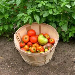 Как выращивать помидоры {amp}quot;Клуша{amp}quot;