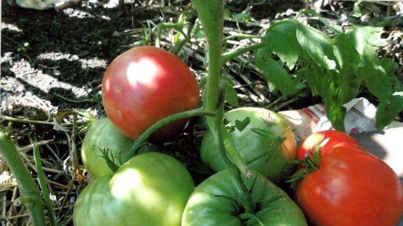 """Как выращивать томат """"Черный слон"""""""
