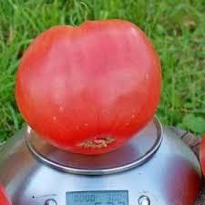 """Как выращивать томат """"Красный гигант"""""""