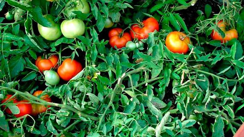 Какие семена томатов дают хороший урожай в открытом грунте