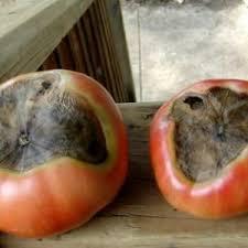 Что делать, если на помидорах появились коричневые пятна: фото пораженных томатов и пути их спасения