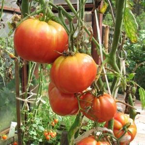 Как бороться с вершинной гнилью томатов в теплице: лучшие рецепты и народные методы