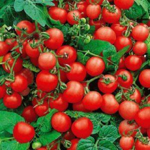 Популярные среди дачников помидоры {amp}quot;Красная шапочка{amp}quot;: описание сорта и инструкция по его самостоятельному выращиванию