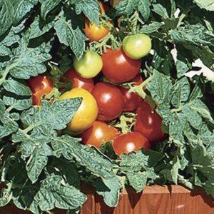 """Популярные среди дачников помидоры """"Красная шапочка"""": описание сорта и инструкция по его самостоятельному выращиванию"""