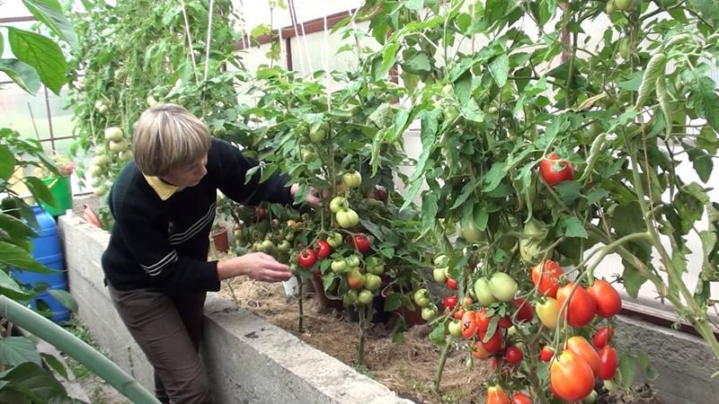 """Необычный и эстетичный сорт томата """"Черный барон"""" - легкий в выращивании и радующий обилием урожая"""