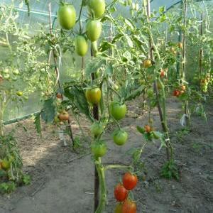 Особенности агротехники сорта {amp}quot;Денежный мешок{amp}quot; для лучшего урожая