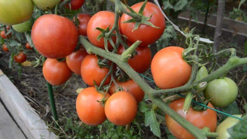 Особенности выращивания помидоров Санька