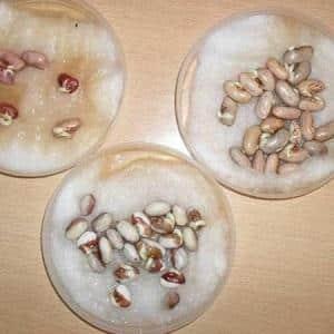 Получаем кладезь витаминов из боба - как прорастить фасоль в домашних условиях или вырастить её в открытом грунте