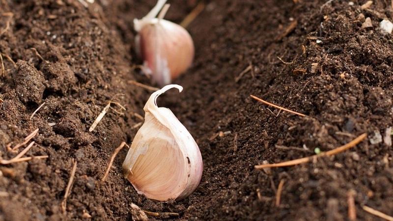Чем обработать чеснок перед посадкой от вредителей