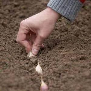 Защищаем будущий урожай от вредителей и болезней - правильная обработка чеснока перед посадкой