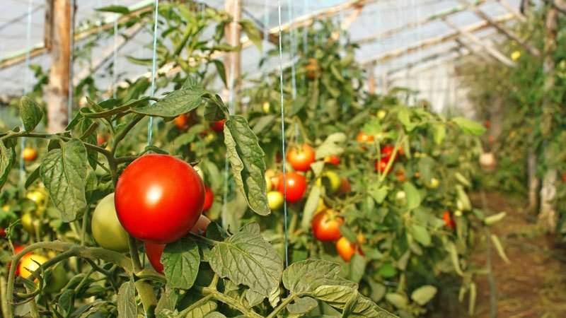 Секреты посадки и ухода за помидорами