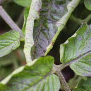 Почему листья помидоров скручиваются вверх