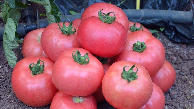 Топ лучших сортов розовых помидоров
