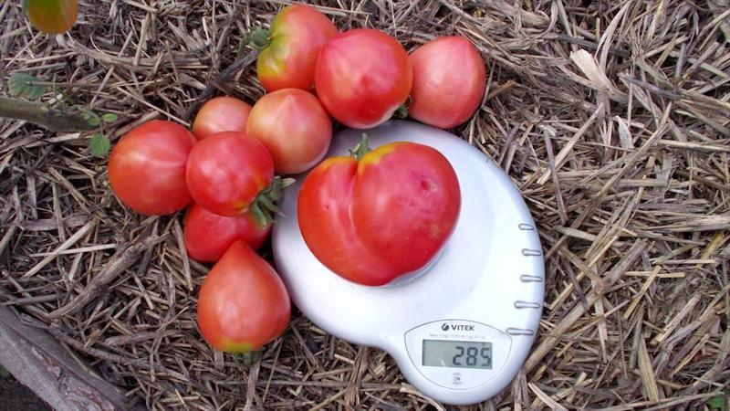 """Вкусный, сочный и ароматный гигант на грядке - томат """"Воловье сердце"""""""
