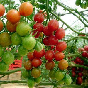 """Выращиваем крошечные помидоры на грядке и в домашних условиях - томат """"Пуговка"""" и тонкости ухода за ним"""
