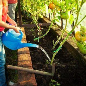 Выращиваем помидоры в теплице: пошаговая инструкция для начинающих огородников и советы от опытных коллег