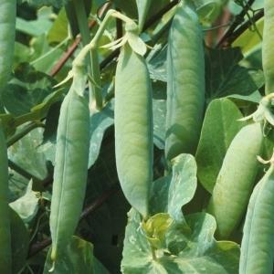 Как правильно выращивать посевной горох
