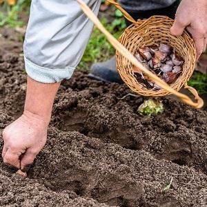 """Стабильно урожайный, неприхотливый и устойчивый к болезням чеснок """"Любаша"""" - выращиваем на своем участке"""