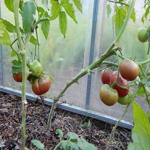 Чем так привлекают дачников черные помидоры