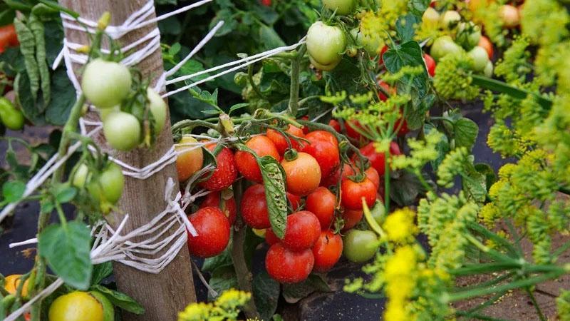 """Раннеспелый, высокоурожайный и универсальный в применении томат """"Дубок"""": инструкция по выращиванию от А до Я"""