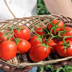 """Высокоурожайный и неприхотливый томат """"Бенито"""" - секреты получения богатого урожая"""