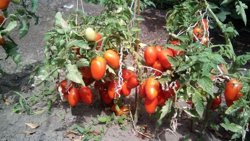 """Набирающий популярность среди дачников томат """"Лель"""""""