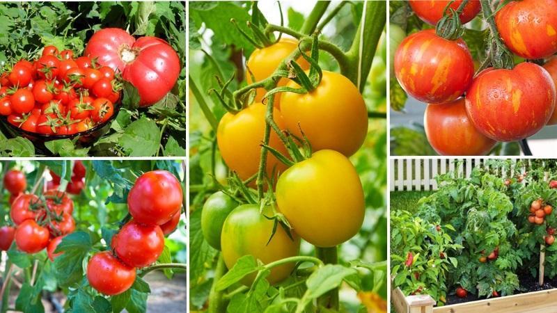 Как заставить помидоры быстрее краснеть