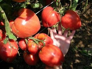 Томат Чудо земли: характеристика и описание сорта, урожайность и выращивание с фото