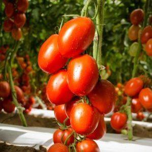 Томат Император чёрный: отзывы об урожайности помидоров, описание и характеристика сорта