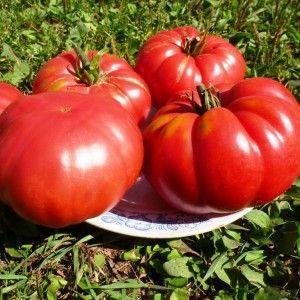 """Перспективный новичок среди сортов помидоров - томат """"Король королей"""", стремительно набирающий популярность"""