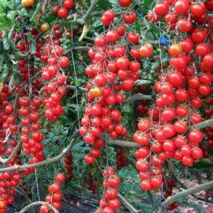 """Легко и просто выращиваем томат """"Дюймовочка"""" на подоконнике или дачном участке по инструкции от опытных фермеров"""