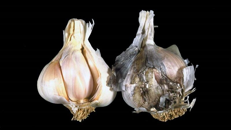 Лечим самостоятельно болезни чеснока и избавляемся от вредителей: эффективные методы и профилактические меры