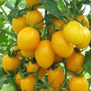 """Как получить качественные помидоры """"Олеся"""""""