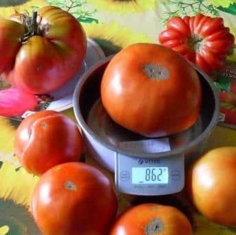 """Вкуснейший помидор для любителей крупных плодов: томат """"Король гигантов"""" - как вырастить самостоятельно и куда применить"""