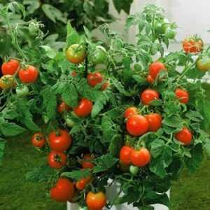 """Богатый урожай даже в холодных регионах: томат """"Снежная сказка"""""""