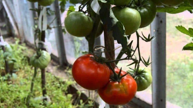 """Выращивайте на своем участке томат """"Кумир"""" и наслаждайтесь ранним обильным урожаем"""