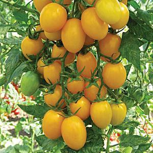 """Необычный на вид и потрясающе вкусный томат """"Медовая капля"""""""