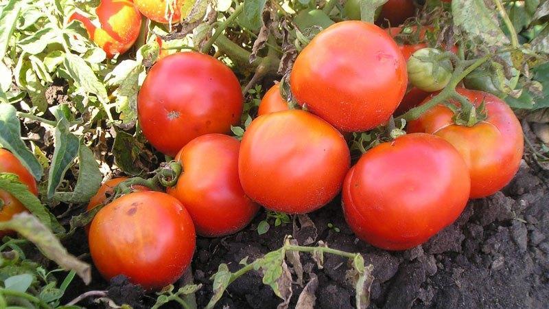 """Гибридный помидор для консервации и салатов: томат """"Анастасия"""""""