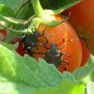 Чем опасен клоп черепашка на помидорах: меры борьбы для эффективного и быстрого избавления от вредителя