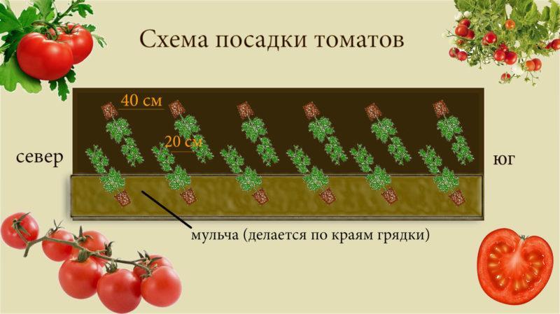 Что такое детерминантные помидоры: разбираемся в понятии и знакомимся с лучшими сортами-представителями