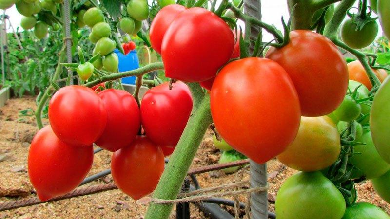 """Где и как лучше выращивать томат """"Розовый мед"""""""