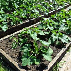 Где и как правильно посадить кабачки на рассаду: инструкция от подготовки семян до пересадки молодняка на участок