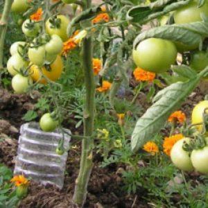 """Как добиться от томата """"Орлиный клюв"""" максимальной урожайности?"""