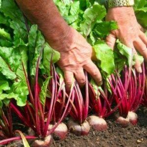 Как и когда посадить свеклу на рассаду: сроки посева семян и дальнейший уход за ними