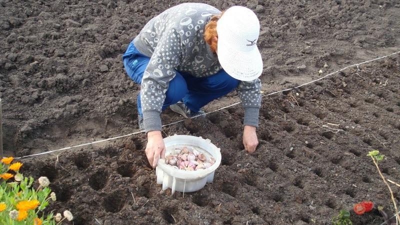 Какие вносить удобрения для чеснока при посадке осенью